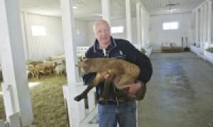 Катумская мясная порода овец