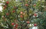 Уход за яблоней все о правильной обрезке весной и осенью
