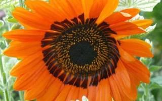 Венидиум особенности выращивания африканского цветка виды растения