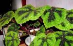 Бегония мэсона описание особенности ухода и размножения в домашних условиях