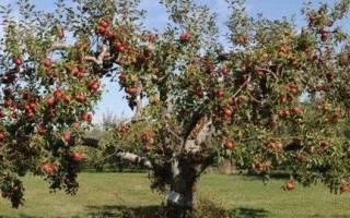 Описание посадка и уход за яблоней сорта коричное полосатое
