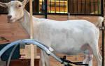 Ручные доильные аппараты для коз как сделать и как использовать