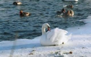 Содержание лебедей зимой и их подкармливание