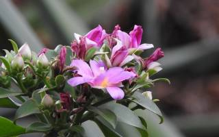 Растение переския особенности ухода за листовым кактусом