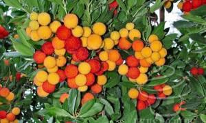 Земляничное дерево применение полезные свойства и противопоказания