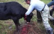 Как убить козу
