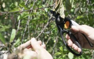 Чем полезны веточки вишни