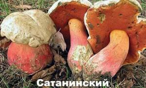 Можно ли отравиться сатанинским грибом