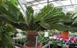 Фото описание названия домашних комнатных пальм