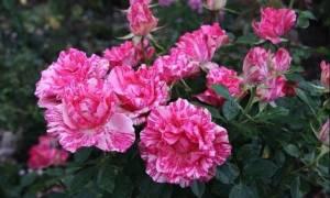 Роза пинк интуишн фото и характеристика