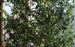 Мирт обыкновенный  вечнозеленый кустарник на вашем подоконнике