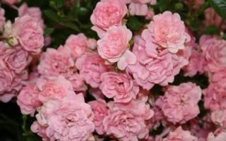 Роза фейри характеристика советы по выращиванию