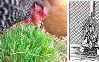 Как и когда давать крапиву цыплятам бройлерам