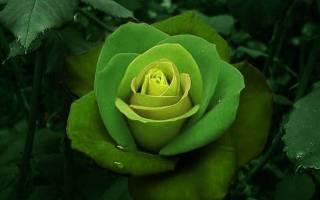 Бывают ли зеленые розы