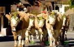 Продолжительность жизни быка