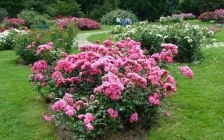 Как посадить и вырастить розы флорибунда
