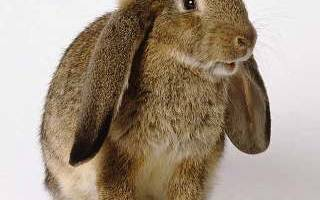 Какую кличку придумать декоративным кроликам