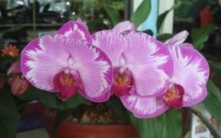 Что делать если на орхидее появились липкие капли