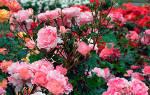 Как вырастить розы ругоза лучшие советы