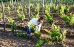 Как выполнить осеннюю подкормку винограда