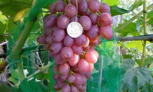 Агротехника выращивания винограда кишмиш посадка и уход