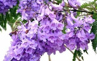 Жакаранда или фиалковое дерево выращивание в домашних условиях