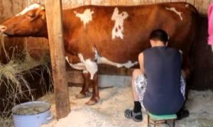 Молоко после отёла коровы когда можно пить и сепарировать