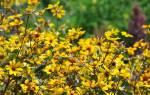 Выращиваем солнцецвет в своем саду правила посадки и ухода