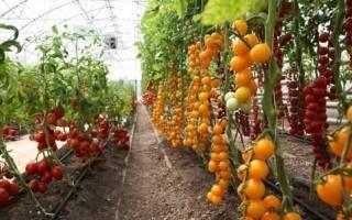 Что такое детерминантные и индетерминантные сорта томатов