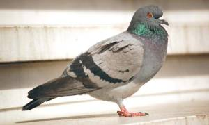 Разноцветные голуби описание пород и мест обитания