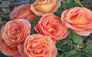 Розы кордеса лучшие сорта с фото и описанием