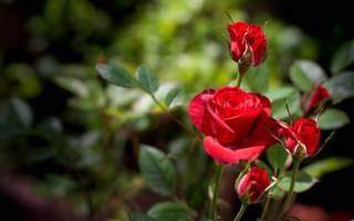 Как ухаживать за розами весной после зимы