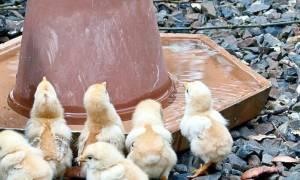 Йодинол для цыплят инструкция по применению