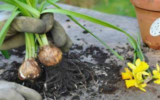 Как посадить нарциссы осенью?