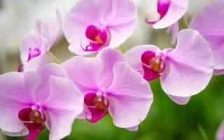 Орхидея цимбидиум правила ухода за цветком на подоконнике
