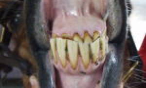 Зубы у лошади анатомия определение возраста