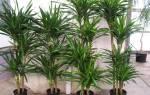 Как выбрать драцену для дома популярные виды экзотического растения