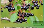 Секреты посадки и ухода за черноплодной рябиной аронией