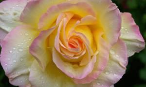 Роза глория дей описание и особенности сорта