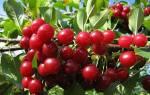 Плюсы и минусы вишни любской в вашем саду