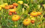 Правила выращивания гелихризума