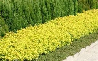 Как вырастить и посадить растение спирея японская у дома